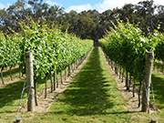 Nintingbool Vineyards, cool-climate Victorian wines