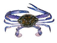 Swainston illustration of a blue swimmer crab